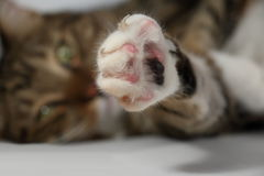 Paw of a domestic cat with released claws. Close-up stock image