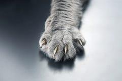 Paw gray cat close up. pets and mammals
