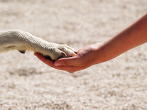 Paw in hand (7) Stock Photography