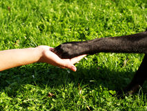 Paw in hand (9). Paw in hand a team, a dog paw and a human hand Royalty Free Stock Photography