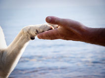 Paw in hand (13). Paw in hand human hand and dog paw Stock Image