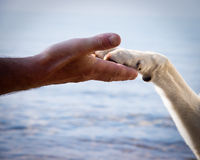 Paw in hand (17). Paw in Hand, human hand and dog paw Royalty Free Stock Photography