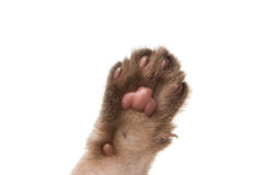 Paw kitten isolated Royalty Free Stock Images