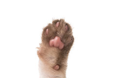 Paw kitten isolated Royalty Free Stock Photography