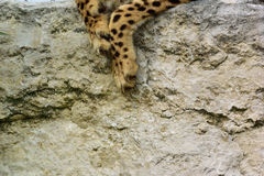 Paw. Leopard paw on a wall Stock Photos