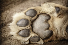 Paw of Lion Stock Photos