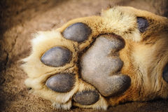 Paw of Lion Stock Image