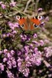 paw motyla Fotografia Stock