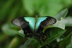 paw motyla Obraz Royalty Free