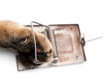 Paw in mousetrap. Cat paw in a mousetrap on a white background Royalty Free Stock Photography