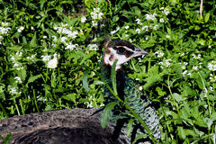 Paw, peafowl wśród zieleni Zdjęcie Stock