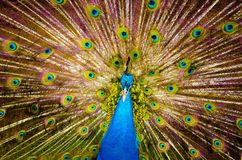paw piękna Fotografia Royalty Free