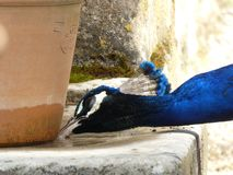 Paw pije w ka?u?y przy Bagatelle parkiem, Pary?, Francja, Europa, Kwiecie? 2019 zdjęcie stock