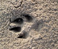 Paw Print. A paw print in the sand at the beach Stock Images