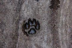 Paw print. A paw print in the cement Royalty Free Stock Photography