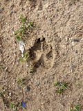 Paw Print in the Dirt Royalty Free Stock Photography