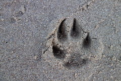 Paw Print. Dog paw print in the sand on a beach royalty free stock image