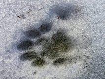 Paw Print en la nieve Imagen de archivo libre de regalías