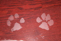 Paw print on floor. Paw print on wet floor Royalty Free Stock Photo