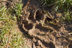 Paw print. A paw print in mud Royalty Free Stock Image
