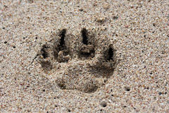 Paw print in the sand Stock Image