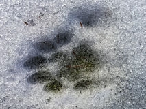 Paw Print in the Snow. A cats polydactyl paw print in the snow showing 7 toes royalty free stock image
