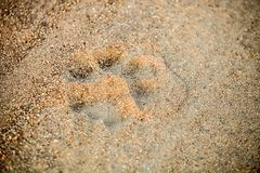 Paw-print tracks of an African Lion on a dirt road. On safari in a South African Game Reserve royalty free stock photo