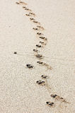 Paw prints. Lonely dog paw footprints printed in the sand on the beach Royalty Free Stock Photography