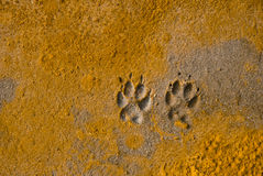 Paw Prints. Of a dog in soft sand on the beach Royalty Free Stock Image