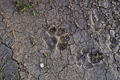 Paw Prints Fotografie Stock