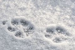 Paw Prints. Animal paw prints in snow Stock Photography