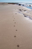 Paw Prints on the Beach. Dog paw prints on the wet sand at Jake's Point beach with Indian Ocean waters, sandstone rock and clear blue skies in Kalbarri, Western royalty free stock photo