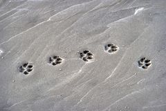 Paw Prints of a Dog on the Beach. Paw Prints of a Dog on a Beach stock photography