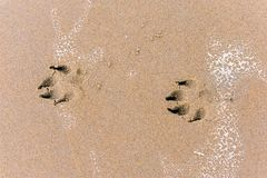 Paw prints of a dog in wet sand. Paw prints of a dog in the wet sand of the beach on the coast stock image