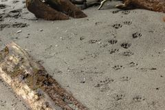 Paw prints leading along the sandy beaach. Paw prints leading along the beaach along puget sound royalty free stock photo
