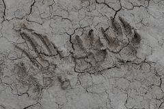 Paw prints at national park. Not sure what animals left these paw prints at Badlands National Park, Maybe you have an idea stock photos