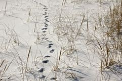 Paw Prints. Red Fox paw prints in the snow on the beach in winter stock photos