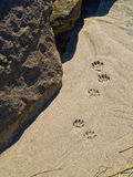 Paw Prints in the Sand. Probably raccoon Stock Photo