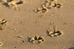 Paw prints in sand. Dog paw prints in the sand royalty free stock images
