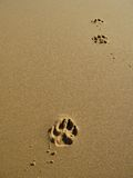 Paw Prints in Sand. A  track of dog paw print in wet sand Stock Image
