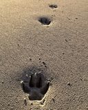 Paw prints 1. Paw prints in sand Royalty Free Stock Photography