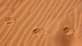 Paw prints in the sand royalty free stock photography