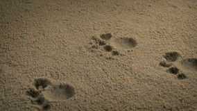 Paw prints from small animal. Moving slowly past small animal paw prints stock video