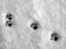 Paw prints on snow. Four dog paw prints on fresh snow on a sunny winter day stock photography