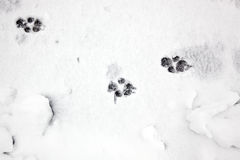 Paw prints in the snow Stock Images