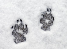 Paw prints in snow  Stock Image