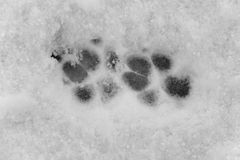 Paw Prints in Snow Royalty Free Stock Photography