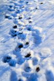 Paw prints in snow. Paw prints in fresh and fluffy snow Stock Image