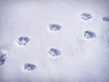 Paw prints in snow. Winter background with paw prints Royalty Free Stock Photo