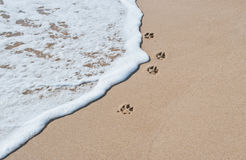 Paw Prints. In soft sand on the beach next to a washed up wave Stock Image